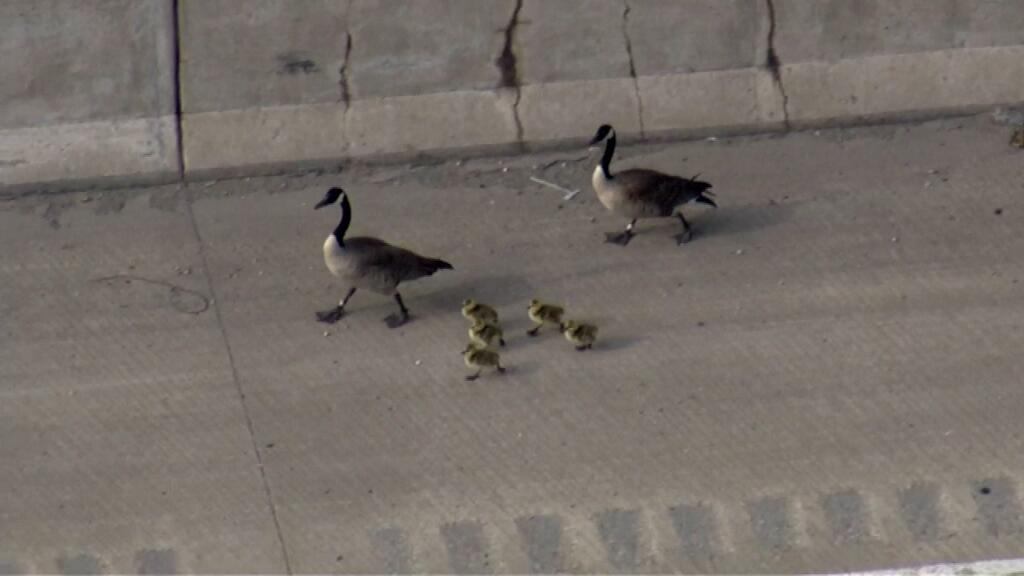 Canada Geese in Chicago 2