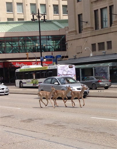 Deer Tim Hortons Winnipeg