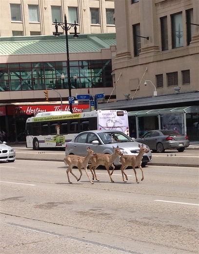 Deer Tim Hortons Winnipeg