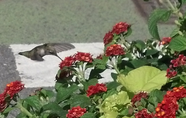 Hummingbird Sept 17 2014