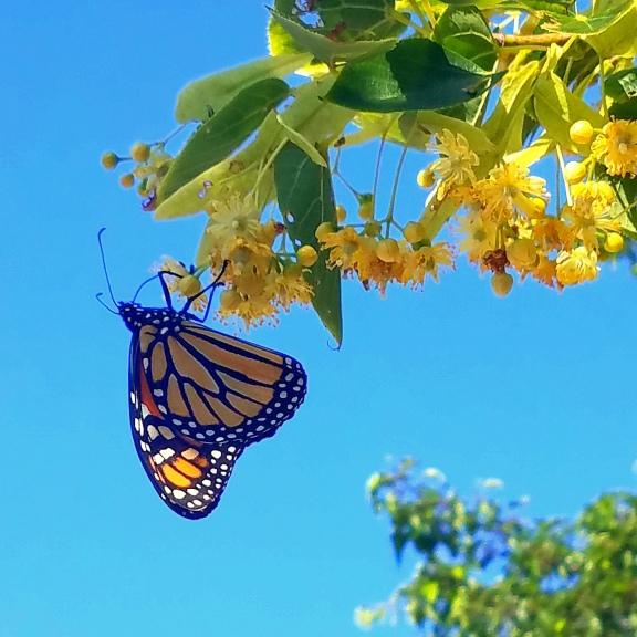 Monarch Butterfly July 5 2018