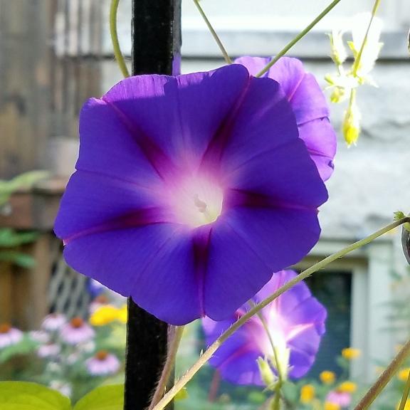 Purple flower July 24 2018